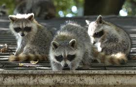 Time To Start Culling Toronto's Nasty Raccoons: Hepburn | Toronto Star Time To Start Culling Torontos Nasty Raccoons Hepburn Toronto Star Raccoon Removal Indianapolis Backyard Raccoons Youtube How To Get Rid Of In Your Bathroom Wall Mirrors Cooldesign A Getting Keep Away From Garden Out Yard The Survive And Thrive 65 Animal Statues Decor Wild And Domestic Identify Of In The 11 Strategies For Doityourself Pest Control Family Hdyman