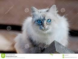 russian cat names cat nevsky masquerade stock image image of drawing 44025123