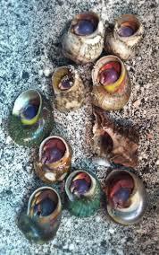 Halloween Hermit Crab Reef Safe by 67 Best Hermit Crabs Images On Pinterest Hermit Crabs
