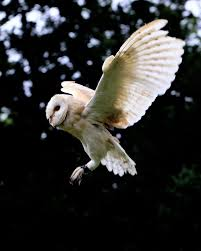 Norfolk Images Gallery: Birds Of Prey White And Brown Barn Owl Free Image Peakpx Sd Falconry Barn Owl Box Tips Encouraging Owls To Nest Habitat Diet Reproduction Reptile Park Centre Stock Photos Images Alamy Bird Of Prey Tyto Alba Video Footage Videoblocks Barn Owl Tyto A Heart Shaped Face Buff Back Wings Bisham Group Bird Of Prey Clipart Pencil In Color British Struggle Adapt Modern Life Birdguides Beautiful Owls Pulborough Brooks The