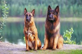 compare the belgian malinois vs german shepherd which dog is