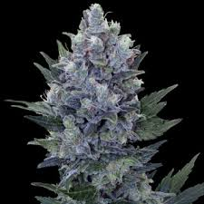 Exotic Strain Directory NORTHERN LIGHTS