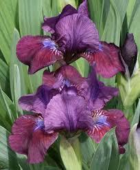 289 best iris images on backyard ideas brown floral
