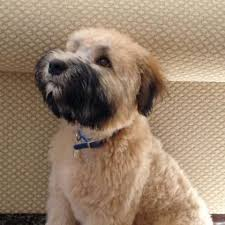 soft coated wheaton terrier bbc radio 2 evans max the soft