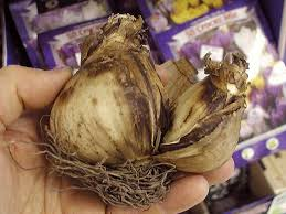 how to grow protecting bulbs gardening with