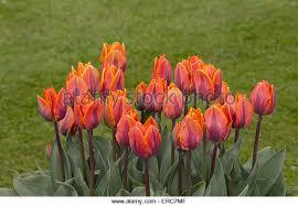 tulip orange princess stock photos tulip orange princess stock