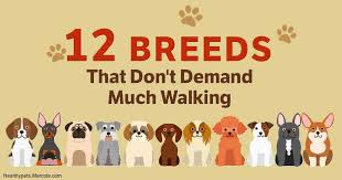 Small Dogs That Dont Shed Uk by Which Of These 12 Low Energy Dog Breeds Is Right For You