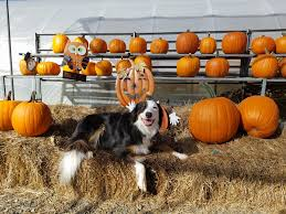 Pumpkin Puree For Dog Constipation by Pumpkin Dog Treats U2013 One Of The Ultimate Dog Superfoods