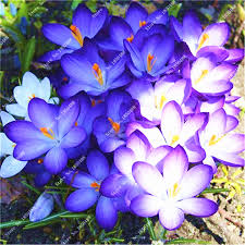 click to buy true saffron bulbs bulb flowers plants not seeds