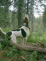 Do Treeing Walker Coonhounds Shed by 22 Best Images About Piper Training On Pinterest Coon Hunting