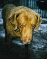 Chesapeake Bay Retriever Vs Lab Shedding by Chesapeake Bay Retriever Dog Breed Pictures 1