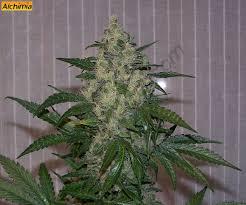 fin de floraison cannabis exterieur free du growshop alchimia