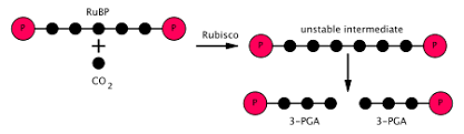 Light independent reactions