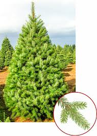 Nordmann Fir Christmas Trees Wholesale by Christmas Tree Guide
