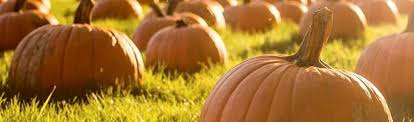 Pumpkin Picking Riverhead by Pumpkin Picking Albert H Schmitt Family Farms