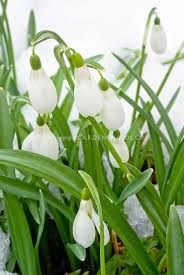 galanthus comet snowdrops bulbs flowers in winter snow plant