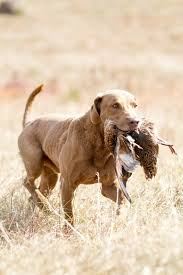 Chesapeake Bay Retriever Vs Lab Shedding 497 best labs and chesapeaks images on pinterest chesapeake bay