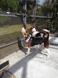 Do Treeing Walker Coonhounds Shed by Life With Beagle You Know Your Dog U0027s A Beagle When 5 Beagle Noises
