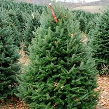 Fraser Fir Christmas Trees Nc by Wholesale Christmas Trees Cool Springs Nursery