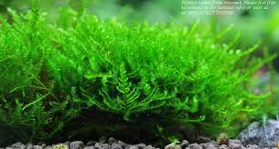 Triangle Moss Wood 10cm - 15cm (Aqua (end 4/24/2018 4:15 PM) 329 Best Aquascape Images On Pinterest Aquarium Ideas Floratic Visiting Paradise At Shah Alam Planted Aquarium Aquascape Things Aquariums Aquascaping Malaysia Diy Pertama Kali Aquascaping October 2010 Of The Month Ikebana Aquascaping World Sumida Aquarium Reloaded Fish Tanks And Designs Awesome A Moss Experiment Its All About Current Low Tech Tank Cuisine Wonderful Small Cubical Styles Planted The Surreal Submarine Amuse