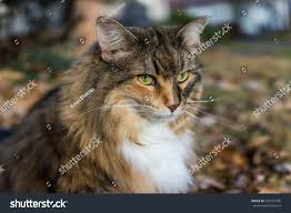 Do Maine Coons Shed Their Mane by Closeup Portrait Calico Maine Coon Cat Stock Photo 555210496