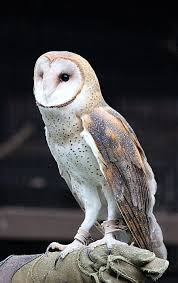 Owl Stock 11: Barn Owl By HOTNStock On DeviantArt Barn Owl Tyto Alba Onyx On The Left Is A British Male Flickr Fimale 3 6942373687jpg Wikimedia Commons Ruffled Feathers November 2014 Mysterious Wise Barn Owl In Shadows Nocturnal Hunter World Bird Sanctuary January 2013 Owls Ghosts And Noises Night The Trust Lone Pine Koala Owlline Owllinelovers Twitter Audubon Field Guide A Brief Introduction To Common Types Of Barney California Raptor Center Connecticuts Beardsley Zoo