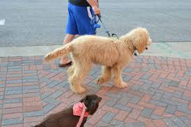 Dogs That Shed The Least Hair by Double Doodle Dog Breed Information Pictures U0026 More