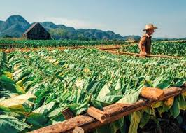 Tobacco Fields In Vinales Cuba