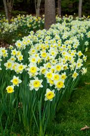 follies bulbs we ordered daffodils daffodil