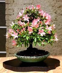 parlons bonsai rhododendron indicum