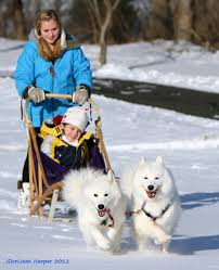 Do Samoyeds Shed All The Time by 10 Things You Probably Didn U0027t Know About The Smiling Samoyed Dog