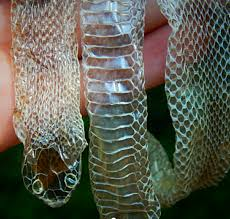 Shed Snake Skin Pictures by Shed Snakeskin Black King Snake Snakeskin And White Chiffon