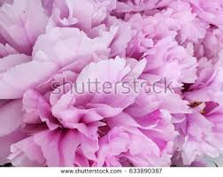 Pink Peony Background Rustic Wallpaper
