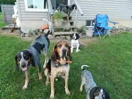 Do Bluetick Coonhounds Shed by Our Blue Tick Coonhound Pack Dogs Pinterest Blue Tick Beagle