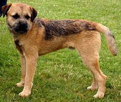 Border Terrier Non Shedding by Dog Breed Info Over 200 Dog Breed Profiles