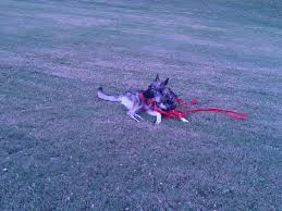 My Puppy Do Female Dogs Get Periods How Often And Long Does The Period Dsc3763jpg The Best Retractable Dog Leash In 2017 Top 5 Leashes Compared Please Fence Me In Westward Ho To Seattle Traing Talk Teaching Your Come When Called Steemit For Outside December Pet Collars Chains At Ace Hdware Biglarge Reviews Buyers Guide Amazoncom 10 Foot With Padded Handle For Itt A Long Term Version Of I Found A Rabbit Wat Do