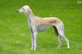 Why Is My Italian Greyhound Shedding by Saluki Dog Breed Information Buying Advice Photos And Facts