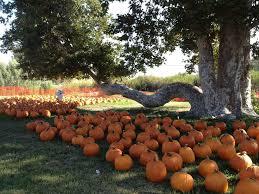 South San Jose Pumpkin Patch by Joan U0027s Farm And Pumpkin Patch California Haunted Houses