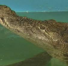 australien hund entdeckt krokodil im familien wohnzimmer welt