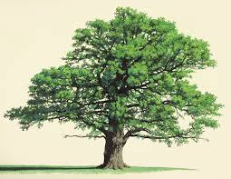 Similar shape for my tattoo Illustration of x 38 cm watercolors on paper Title The old oak tree