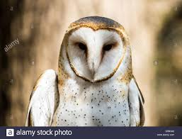 A Barn Owl Poses For The Camera At The Carolina Raptor Center ... Black Barn Owl Oc Eclipse By Pkhound On Deviantart Closeup Of A Stock Photo 513118776 Istock Birds Of The World Owls This Galapagos Barn Owl Lives With Its Mate A Shelf In The Started Black Paper Today Ref Paul Isolated On Night Stock Photo 296043887 Shutterstock Stu232 Flickr Bird 6961704 Moonlit Buttercups Moth Necklace Background Image 57132270 Sd Falconry Mod Eye Moody