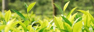 100 Green Tea House Alliance Supporting Farmer Livelihoods In India The Role And Potential Of