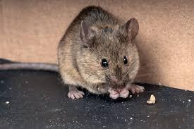 souris rats mulot ces rongeurs dont il faut se défaire