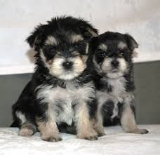 Morkies Do They Shed by Morkie Puppies
