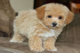 Cute Non Hypoallergenic Dogs by Top 20 Most Cutest Poodle Mix Breeds That You Need To Know
