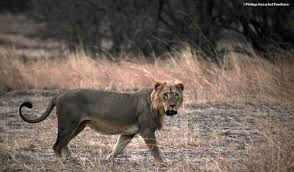 The Results Of A Six Year Study Published Yesterday In PLoS One Have Found That Elusive West African Lion Must Now Be Considered Critically Endangered