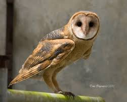 Tomingram - Barn Owl Common Barn Owl 4 Mounths In Front Of A White Background Stock Royalty Free Images Image 23603549 Known Photo 552016159 Shutterstock Owl Wikipedia 644550523 Mdc Discover Nature Tyto Alba Perched On A Falconers Arm At Daun Audubon Field Guide Mounths Lifeonwhite 10867839 Barnowl 1861 Best Owls Snowy Saw Whets Images Pinterest Photos Dreamstime