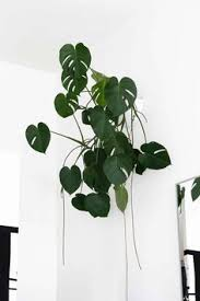 The 25 best Indoor trees low light ideas on Pinterest