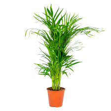 dypsis areca palme pro stück zimmerpflanze im kinderzimmertopf cm19 cm 90 100 cm