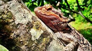 bearded dragon care shedding